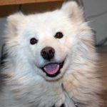 A very cute Samoyed